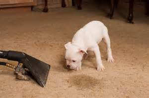 Carpet Steam Cleaning Pet Stain Removal